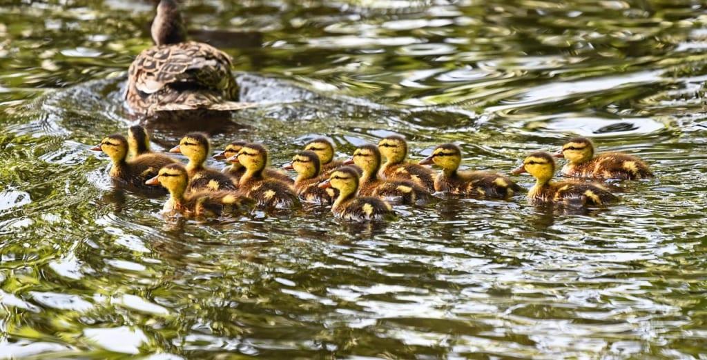 duckling-3451729_1280