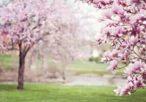 magnolia-trees-556718_960_720