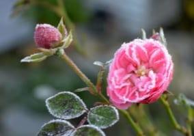 rose-4591443_1280